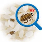 コクゾウムシ(米食い虫)が湧く原因は?毒性や予防対策や駆除まとめ