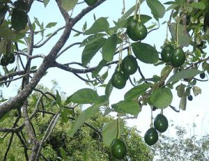 野菜ではなく果物の木になるアボカド